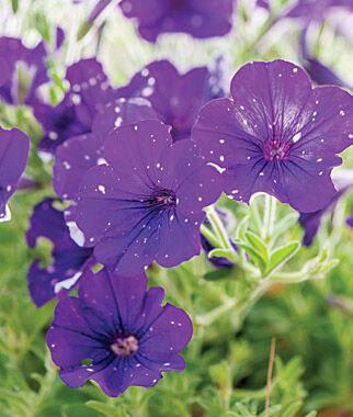 Petunia, Night Sky 3 Plants Annuals, Annual Flowers, Annual Flower Plants, Flower Plants, Flowering Annuals, Bedding Plants
