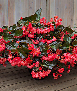 Begonia, Whopper Red Bronze Leaf 3 Plants Annuals, Annual Flowers, Annual Flower Plants, Flower Plants, Flowering Annuals, Bedding Plants