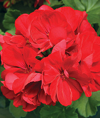 Geranium, Calliope Dark Red 3 Plants Annuals, Annual Flowers, Annual Flower Plants, Flower Plants, Flowering Annuals, Bedding Plants