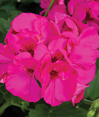 Geranium, Calliope Lavender Rose 3 Plants Annuals, Annual Flowers, Annual Flower Plants, Flower Plants, Flowering Annuals, Bedding Plants