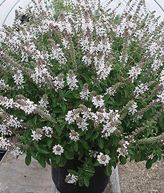 Flowering Basil, Snow White 3 Plants Basil Seeds, Basil Plants, Basil Starts, Herb Seeds, Herb Plants, Garden Seed, Vegetable Seeds