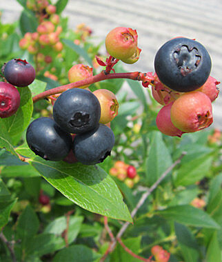 Blueberry, Nocturne 1 Plant Blueberry Plants, Blueberries, Berry Plants, Fruit Plants, Fruit Garden, Berry Garden, Garden Plants