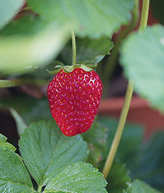 Strawberry, Sweet Kiss 25 Bare Root Plants Strawberries, Strawberry Plants, Strawberry Starts, Strawberry Roots, Strawberry, Garden Plants