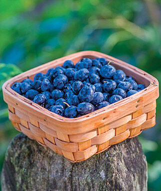 Blueberry, Razz 1 Plant Blueberry Plants, Blueberries, Berry Plants, Fruit Plants, Fruit Garden, Berry Garden, Garden Plants