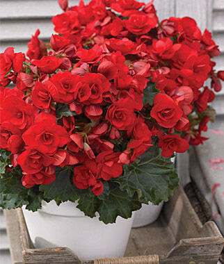 Begonia, Vermillion Red 3 Plants Annuals, Annual Flowers, Annual Flower Plants, Flower Plants, Flowering Annuals, Bedding Plants