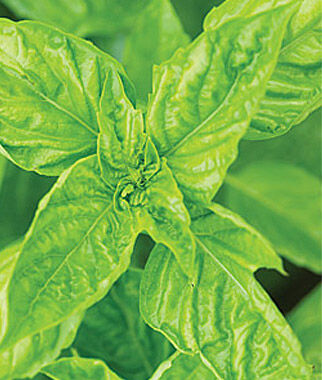 Basil, Leaf Green 1 Pkt. (100 seeds) Basil Seeds, Basil Plants, Basil Starts, Herb Seeds, Herb Plants, Garden Seed, Vegetable Seeds