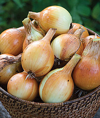 Onion, Copra 2 Bunches (150 Plants) Onion Seeds, Onion Sets, Onion Plants, Scallion Seeds, Bunching Onions, Green Onions, Garden Seeds