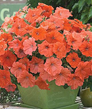 Petunia, African Sunset Hybrid 1 Pkt. (10 seeds) Annuals, Annual, Annual Flowers, Annual Flower Seeds, Seeds, Flower Seeds, Cottage Garden Flowers