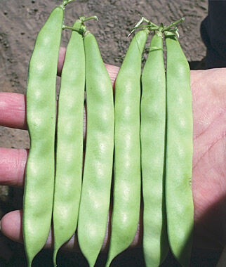 Bush Bean, Venice 200 Seeds Bean Seeds, Bush Beans, Beans - Bush, Bush Bean Seeds, Vegetable Seeds, Garden Seeds, Vegetable Seed