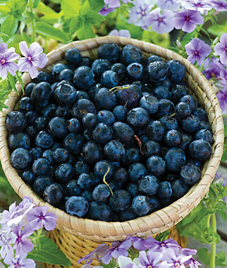 Blueberry, Polaris 1 Plant Blueberry Plants, Blueberries, Berry Plants, Fruit Plants, Fruit Garden, Berry Garden, Garden Plants