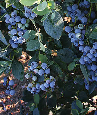 Blueberry, Star PP# 10,675 1 Plant Blueberry Plants, Blueberries, Berry Plants, Fruit Plants, Fruit Garden, Berry Garden, Garden Plants