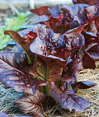 Lettuce, King Crimson Hybrid 1 Pkt. (2 grams) Lettuce Seed, Lettuce Seeds, Salad Greens, Lettuce, Lettuce Mix, Mesclun, Garden Seeds, Salad Seeds