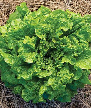 Lettuce, Green Frills Hybrid 1 Pkt. (2 grams) Lettuce Seed, Lettuce Seeds, Salad Greens, Lettuce, Lettuce Mix, Mesclun, Garden Seeds, Salad Seeds