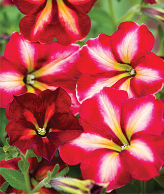 Petunia, Cha-Ching Cherry 3 Plants, Annuals, Annual Flowers, Annual Flower Plants, Flower Plants, Flowering Annuals, Bedding Plants
