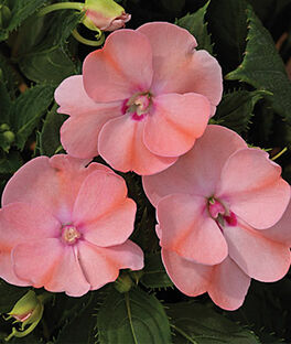 Impatiens, SunPatiens Blush Pink, , large