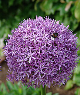Allium, Globemaster, , large