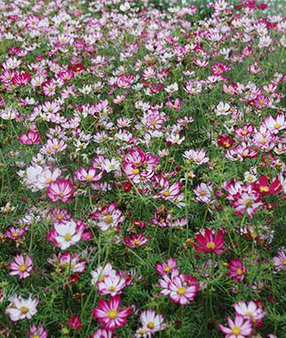 Cosmos, Capriola, , large