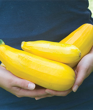 Squash, Summer, Burpee Golden Zucchini, , large