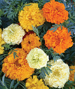 Marigold, Sugar and Spice Mix, , large