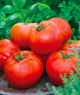 Tomato, Big Daddy Hybrid, , large