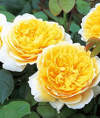 Rose, Charlotte, , large