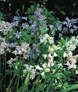 Hyacinthoides, Hispanica Mix, , large