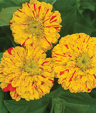 Zinnia, Pop Art Red and Yellow, , large