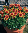 Gaillardia, Arizona Sun, , large