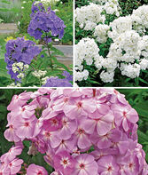Phlox Collection, Ultimate, , large