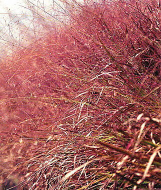 Eragrostis, Purple Love Grass, , large