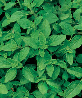 Oregano, Organic, , large