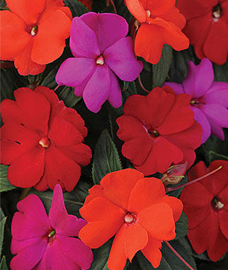 Impatiens, (New Guinea) Hot Divine Mix Hybrid 12 Plants, Annuals, Annual Flowers, Annual Flower Plants, Flower Plants, Flowering Annuals, Bedding Plants
