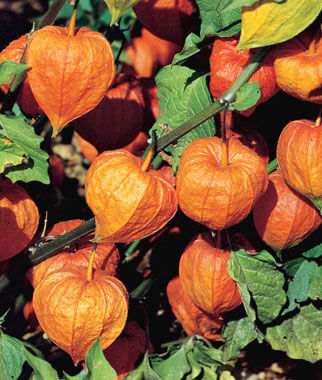 physalis alkekengi chinese lantern seeds and plants, perennnial, Beautiful flower