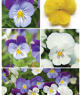 Pansy, Spreading, Plentifall Mix, , large
