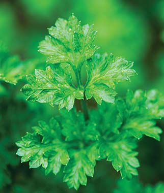 Parsley, Italian Essence , , large
