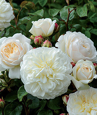 Rose, Tranquility , , large
