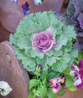 Flowering Kale, Song Bird Pink, , large