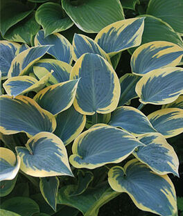 Hosta, First Frost, , large
