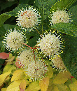 Cephalanthus occidentalis, Sugar Shack, , large