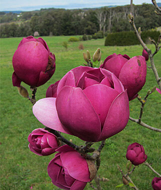 Magnolia, Black Tulip, , large