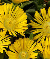 Delosperma, Golden Wonder , , large