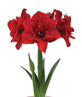 Amaryllis, Double Dragon, , large