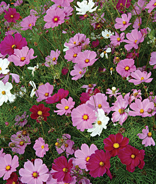 Cosmos, Sensation Mix, , large