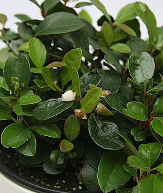 Herb, Wintergreen, , large