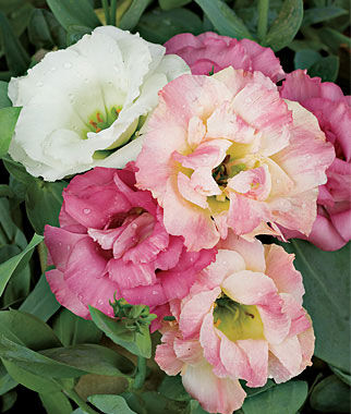Lisianthus Pink Bouquet Collection 18 Plants, Annuals, Annual Flowers, Annual Flower Plants, Flower Plants, Flowering Annuals, Bedding Plants