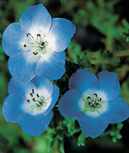Nemophila, Baby Blue Eyes, , large