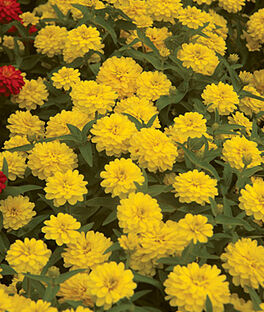 Zinnia,  Double Zahara Yellow, , large
