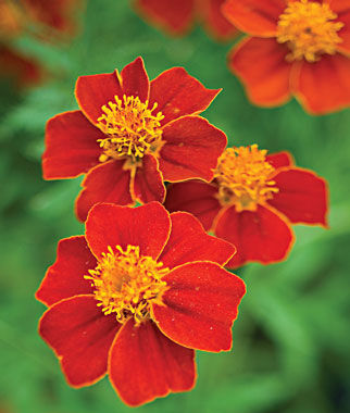 Cottage Red Marigold Seeds and Plants, Annual Flower Garden at ...