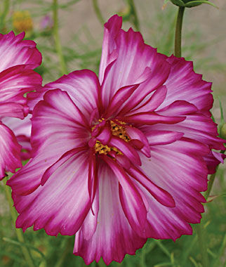 Cosmos, Double Take, , large