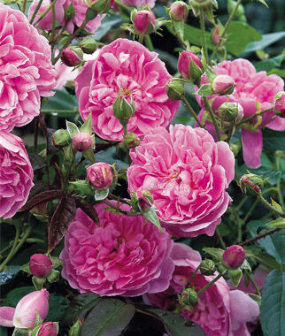 Rose, Harlow Carr ®, , large
